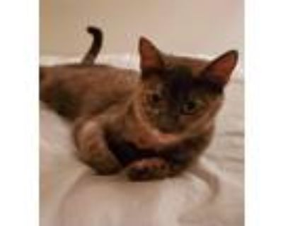 Adopt Eva a Domestic Shorthair / Mixed (short coat) cat in Hampton