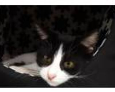 Casserole, Domestic Shorthair For Adoption In Noblesville, Indiana