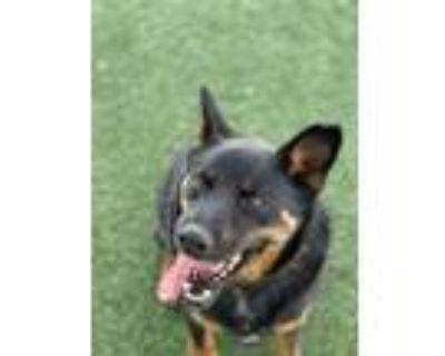 Adopt MIDNIGHT a German Shepherd Dog, Australian Cattle Dog / Blue Heeler