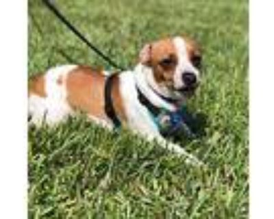 Tiny, Jack Russell Terrier For Adoption In Cape Coral, Florida