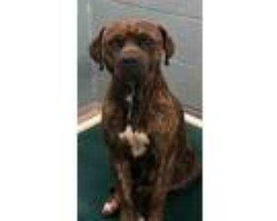 Adopt Masiah a Mastiff