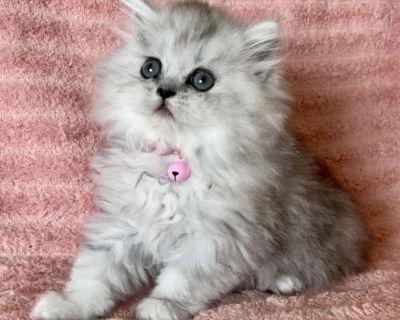 Tiny Purebred Persian Female