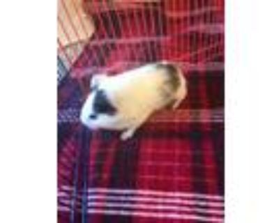Adopt Ditto a White Guinea Pig / Guinea Pig / Mixed small animal in Lowell