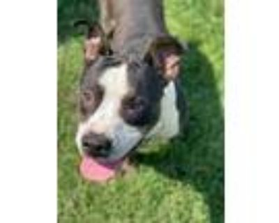 Adopt a Brindle - with White American Pit Bull Terrier / Mixed dog in Modesto