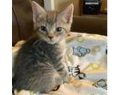 Adopt Sam a Gray or Blue Domestic Shorthair / Mixed cat in Newport News