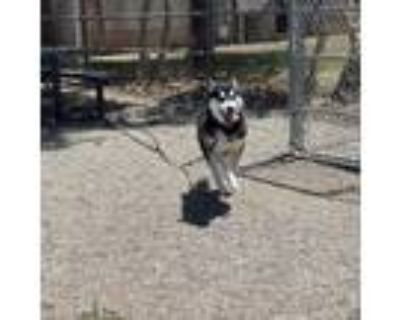Adopt Jesse a Siberian Husky