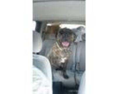 Adopt Dually a Brindle Cane Corso / Mixed Breed (Large) / Mixed dog in