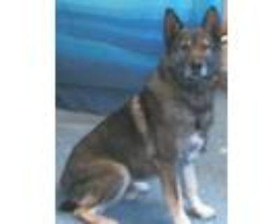 Adopt 159387 a Black German Shepherd Dog / Mixed dog in Bakersfield