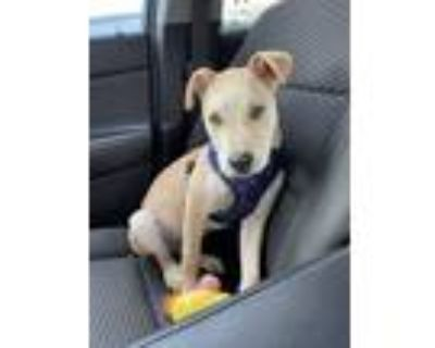 Adopt Butter a Tan/Yellow/Fawn Terrier (Unknown Type, Medium) / Mixed dog in