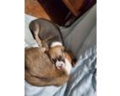 Adopt Molly a Brown/Chocolate - with White Cocker Spaniel / Mixed dog in Lima