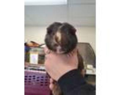 Adopt Milo a Guinea Pig