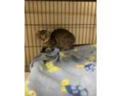 Adopt Gator a Brown or Chocolate Domestic Shorthair / Domestic Shorthair / Mixed