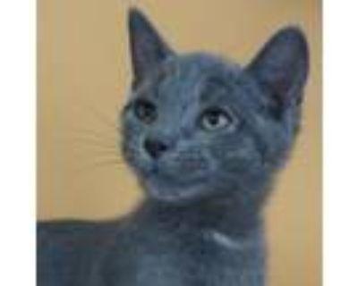 Adopt Bo -$50 a American Shorthair, Domestic Short Hair