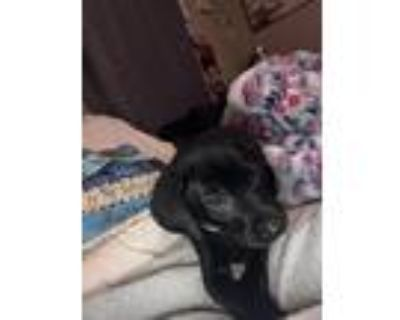 Adopt Simon a Black Labrador Retriever / Mixed dog in Decatur, GA (31617460)