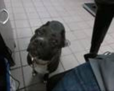 Adopt APRIL a Staffordshire Bull Terrier, Mixed Breed