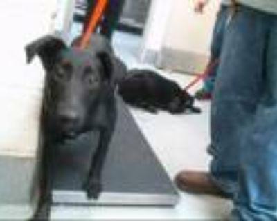 Adopt SAM a Labrador Retriever, Border Collie