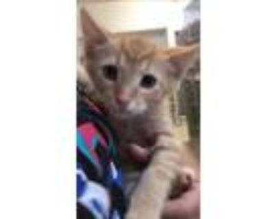 Adopt 654999 a Orange or Red Domestic Shorthair / Domestic Shorthair / Mixed cat