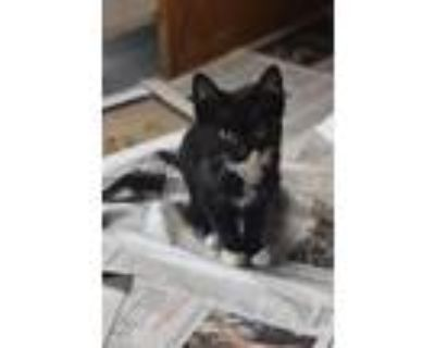 Adopt Pie (Mississippi Mud) a Domestic Shorthair / Mixed (short coat) cat in