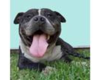 Adopt *BILLY a Black - with White American Pit Bull Terrier / Mixed dog in Long