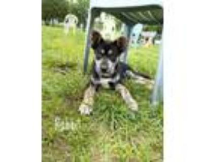 Adopt Rabbit Newberry a Black - with Gray or Silver Mixed Breed (Medium) / Husky