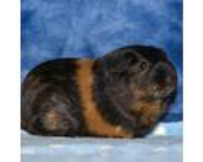 Adopt Spirit a Guinea Pig