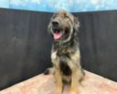 Adopt JULIAN a German Shepherd Dog