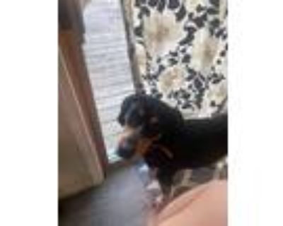 Adopt Dixie a Tricolor (Tan/Brown & Black & White) Bluetick Coonhound / Mixed