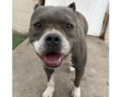 Adopt D-120 a Gray/Silver/Salt & Pepper - with Black Staffordshire Bull Terrier