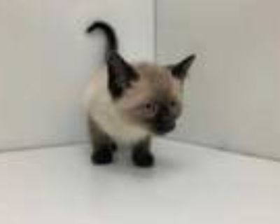 Adopt Streak a Brown or Chocolate Siamese / Domestic Shorthair / Mixed cat in