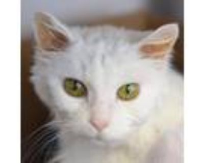 Adopt Val a White Domestic Longhair / Domestic Shorthair / Mixed cat in Denver