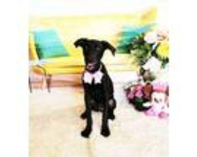 Adopt Fawna a Black Labrador Retriever / Mixed dog in Castro Valley