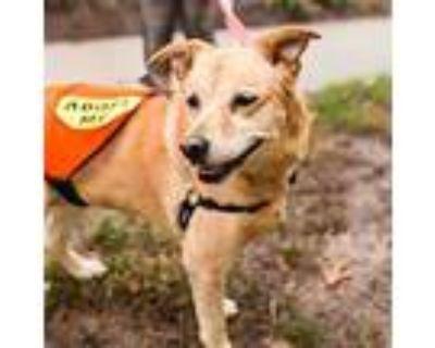 Adopt Daisy the Lab a Labrador Retriever / Mixed dog in Chantilly, VA (29596238)