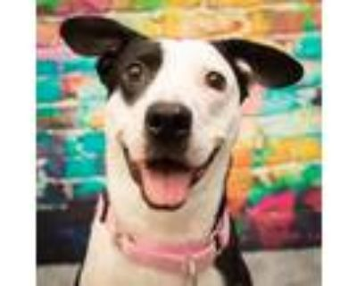 Adopt Pippa Purple a Black Border Collie / Mixed dog in Mission, KS (32028580)