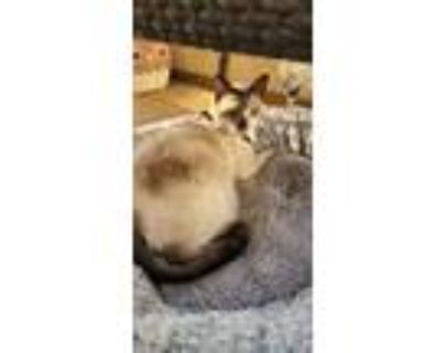 Adopt Maynard a Cream or Ivory (Mostly) Siamese / Mixed (short coat) cat in