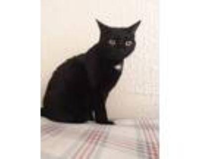 Adopt Meep a All Black Domestic Shorthair / Mixed (short coat) cat in Mesa