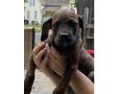 Adopt Claire a Doberman Pinscher, Terrier