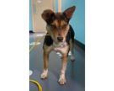 Adopt 21-06-1432 Amber a Australian Cattle Dog / Blue Heeler