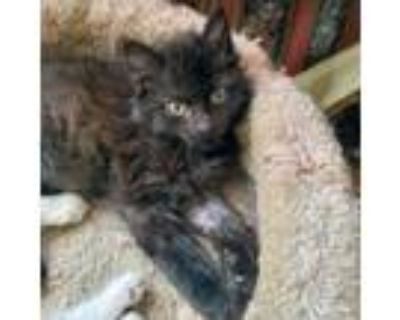 Adopt Phoenix a All Black Domestic Mediumhair / Domestic Shorthair / Mixed cat