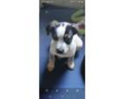 Adopt Pup 2 a Black - with White Blue Heeler / Jack Russell Terrier / Mixed dog