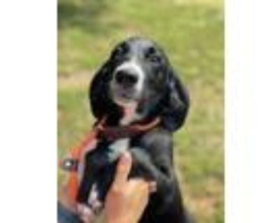 Adopt Bernard a Beagle, Labrador Retriever