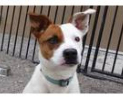 Adopt Lulu a Pit Bull Terrier, Mixed Breed