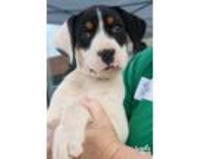 Adopt Hank a Tricolor (Tan/Brown & Black & White) Boxer / Mixed dog in