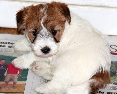 Short Legged Jack Russell Terrier Puppies