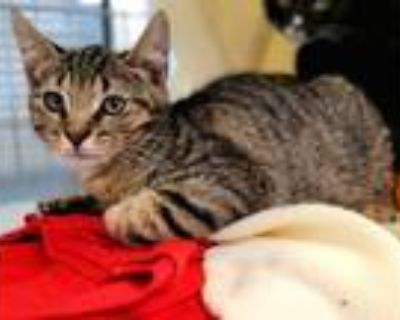 Adopt Wall-E 975-21 a Brown or Chocolate Domestic Shorthair / Domestic Shorthair