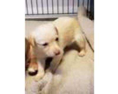 Adopt Iris a Labrador Retriever