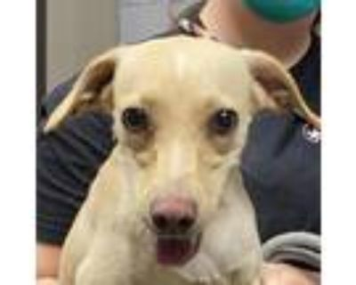 Adopt Sash a Tan/Yellow/Fawn Terrier (Unknown Type, Small) / Mixed dog in Yuma