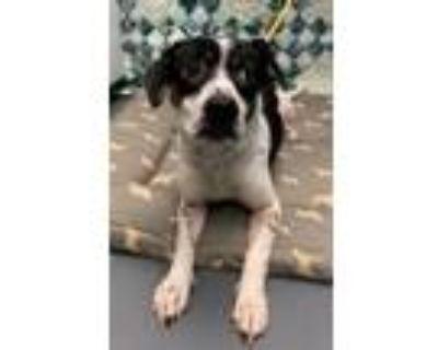 Adopt 21-07-1914 Dodger a Labrador Retriever / Mixed dog in Dallas