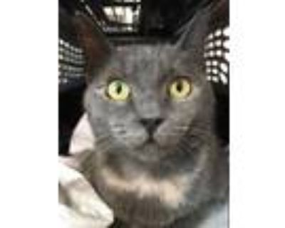 Adopt *KITTY a Brown or Chocolate (Mostly) Domestic Shorthair / Mixed (short