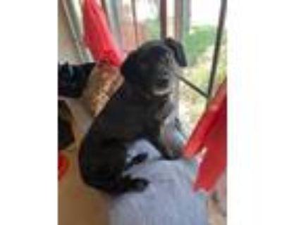 Adopt Pablo a Labrador Retriever