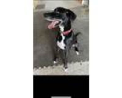 Adopt Butler a Black - with White Great Dane / Mixed dog in Aiken, SC (31242512)